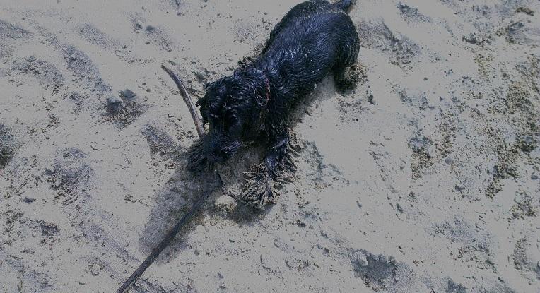 Fifi Cocker Spaniel noir