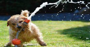 comment boit un chien