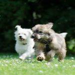 Adopter un deuxième chien : les avantages et les inconvénients