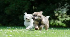 adopter un deuxième chien