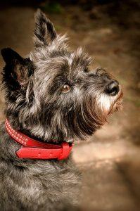 races de petits chiens : cairn terrier