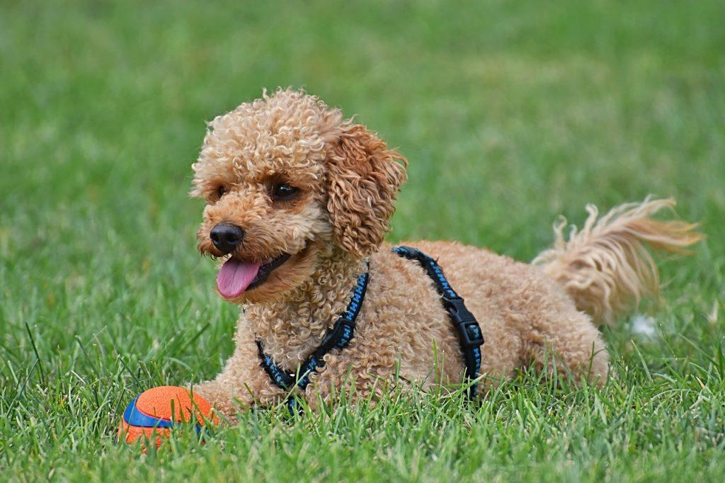 races de petits chiens : caniche