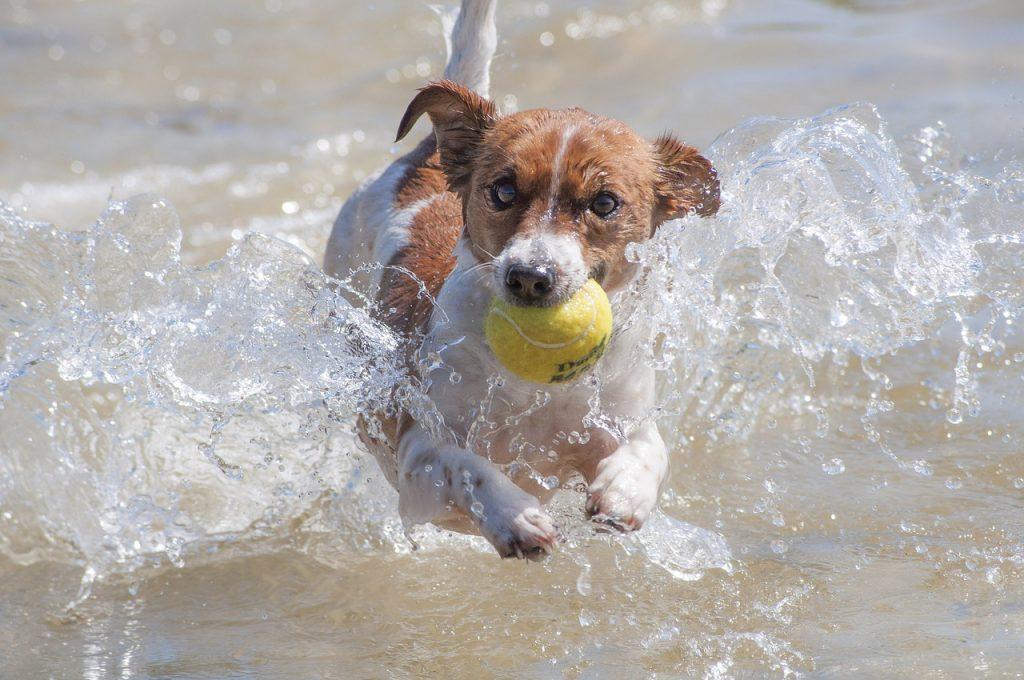 races de petits chiens : jack russel