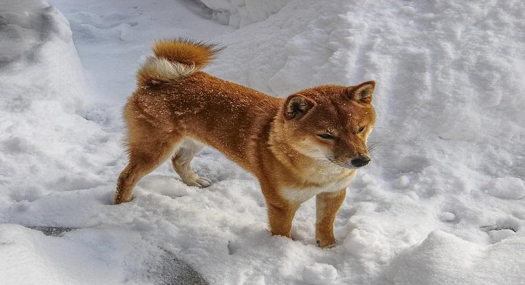 Un Shiba Inu dans la neige