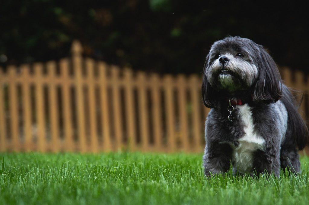 races de petits chiens : shih tzu