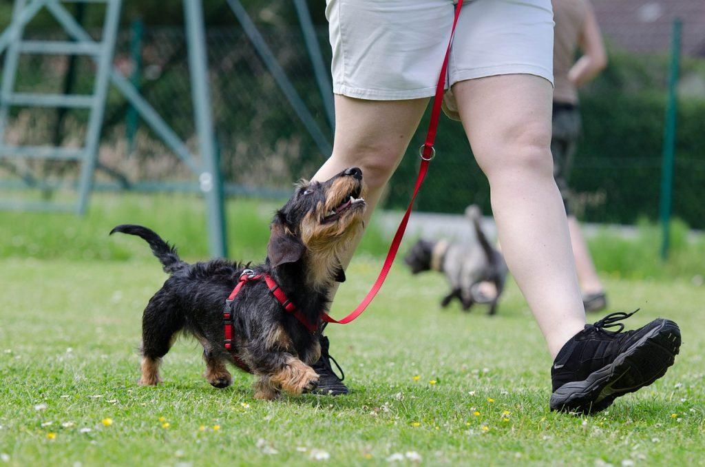 races de petits chiens : teckel