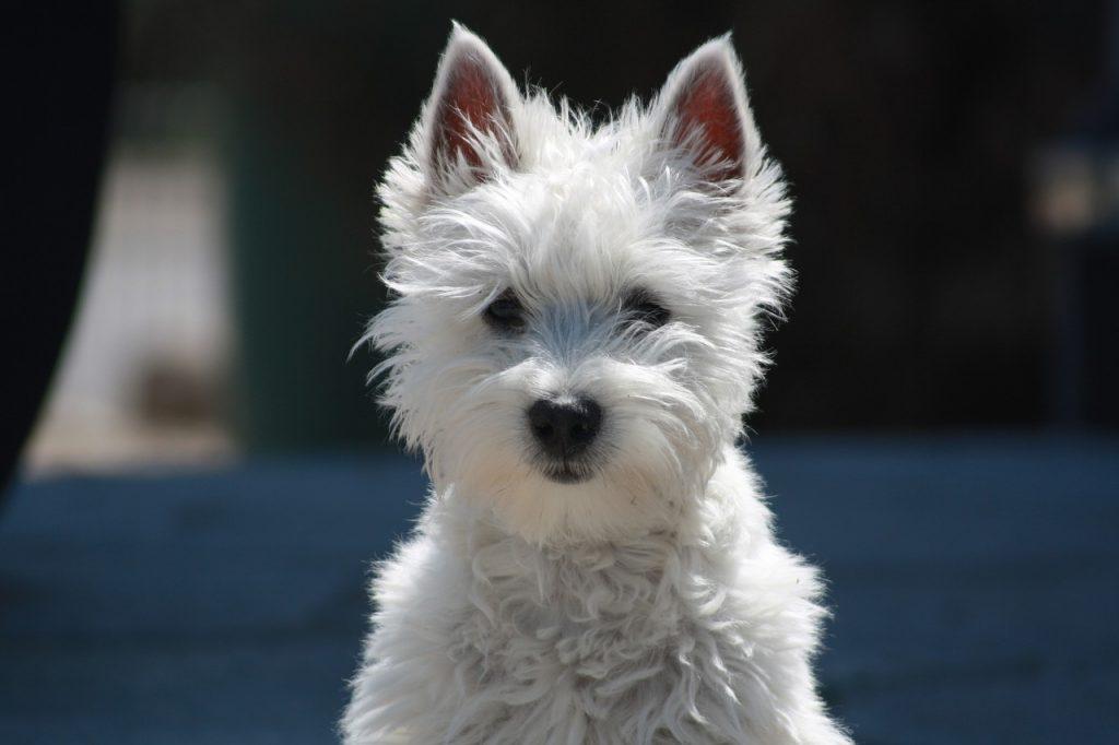 races de petits chiens : westie