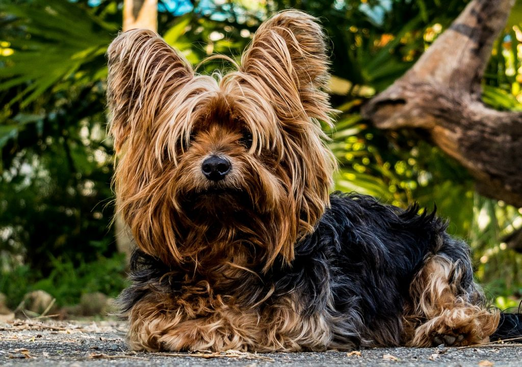 races de petits chiens : yorkshire