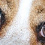 Vision du chien : Comment voient nos fidèles compagnons ?