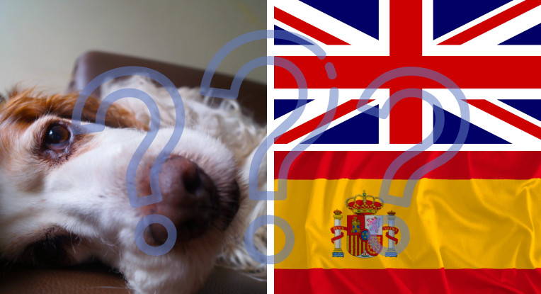 origines du cocker spaniel anglais