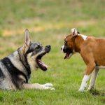 Queue coupée des chiens (Caudectomie) : Pourquoi, comment, quelle loi ?