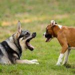 Caudectomie ou queue coupée du chien : Que dit la loi ?