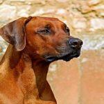 Adopter un chien adulte : Les avantages et les inconvénients