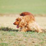Le Cocker Anglais, un chien de chasse leveur de gibiers et rapporteur