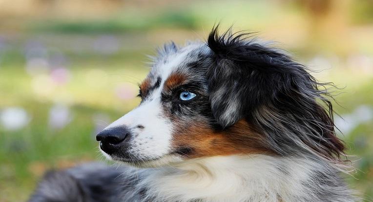 Races de chiens moyens