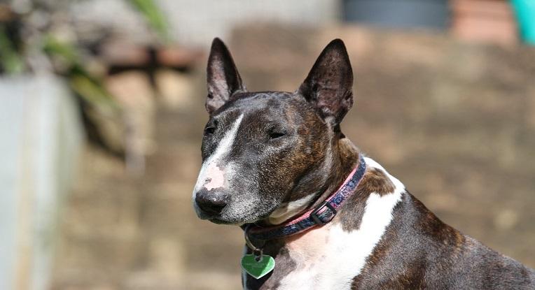 Bull terrier chien moyen