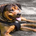 Collier ou harnais ? Quel est le mieux pour mon chien ?