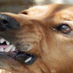 Le Cocker a parfois mauvaise presse, est-ce un chien agressif ?