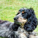 Noms de chien cocker : Quelques idées originales de A à Z
