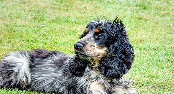 Noms de chien Cocker
