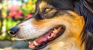 Mauvaise haleine du chien