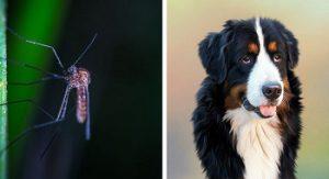 Moustiques et chien