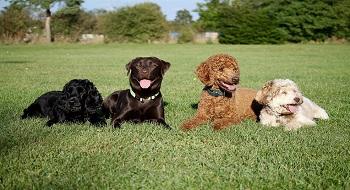 Cocker et autres chiens