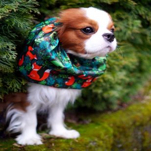 Snood Cavalier king Charles